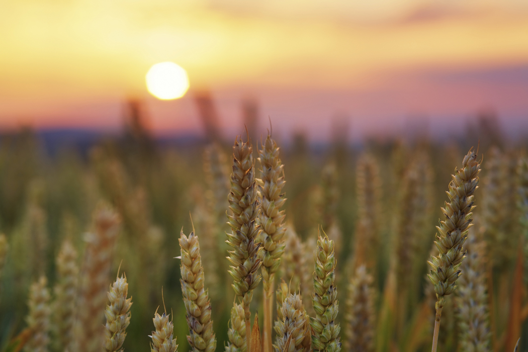Is wheat evil?
